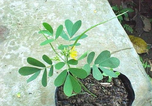 KETEPENG KECIL (Cassia tora L.)