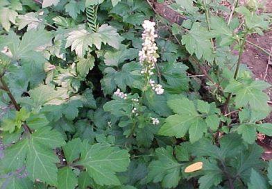 K I S A A T (Valeriana officinalis L.)